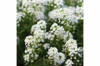 Sweet Alyssum, 6 pack