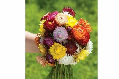 Strawflower, 6 pack