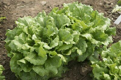 Lettuce, Summer Crisp,  4 pack