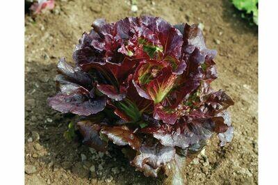 Lettuce, Leaf,  4 pack