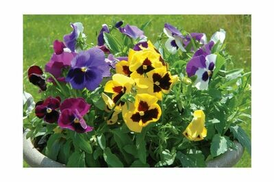 Pansy, 6 pack