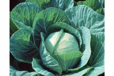 Cabbage, Green, 4 pack