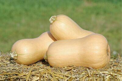 Squash, Butternut, plant