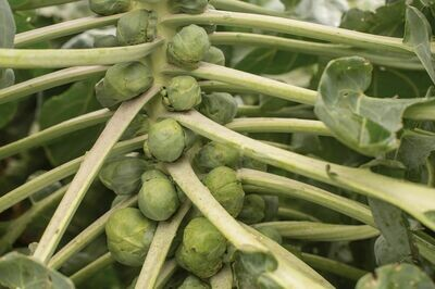 Brussels Sprouts, 4 pack