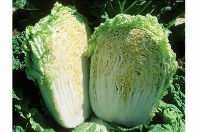 Cabbage, Napa, 4 pack