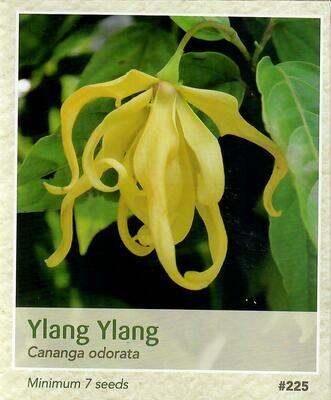Ylang Ylang Seed