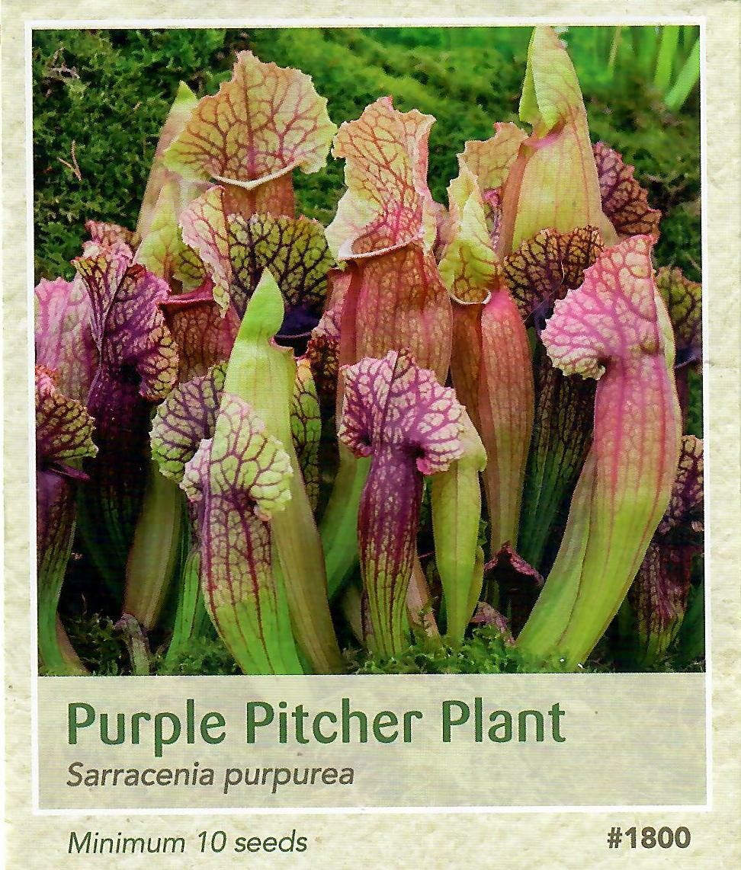 Purple Pitcher Plant Seed