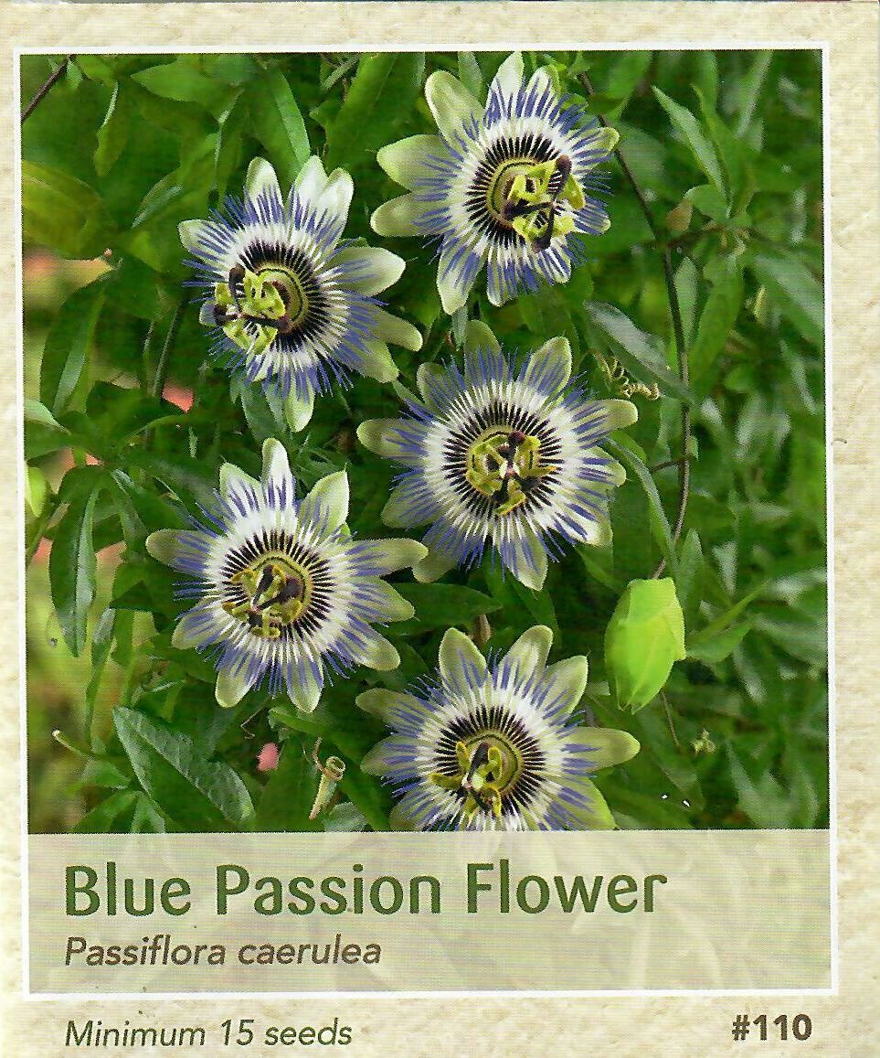 Blue Passion Flower Seed