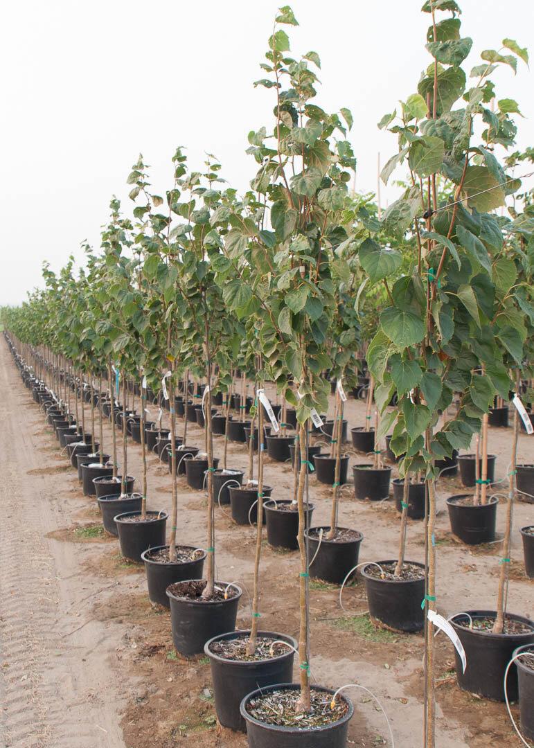 Harvest Gold Linden Tree