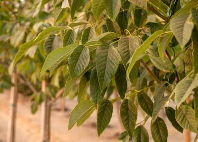 Autumn Purple® White Ash Tree