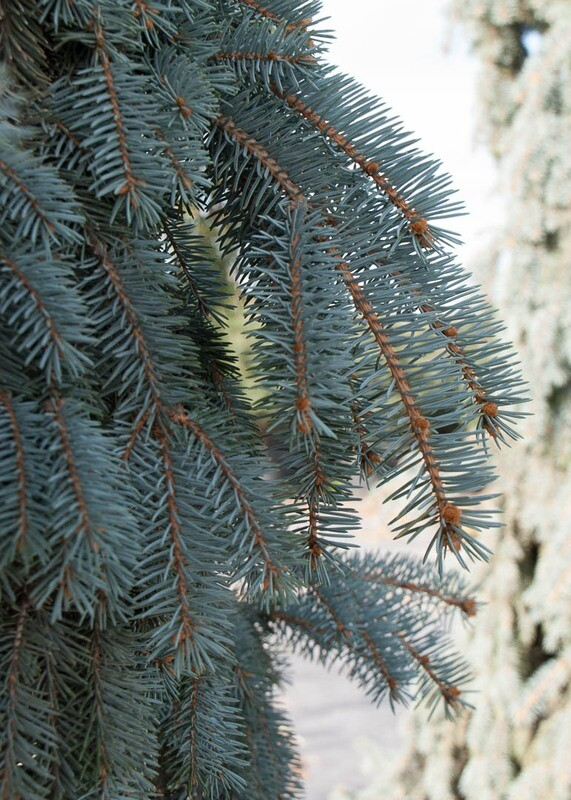 """""""The Blues"""" Blue Spruce Tree"""