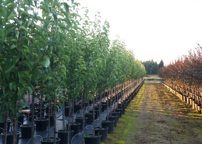 Chanticleer® Pear Tree