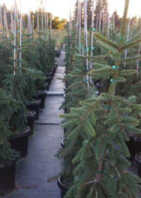 Weeping Norway Spruce Tree