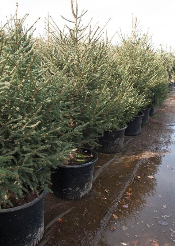 Norway Spruce Tree