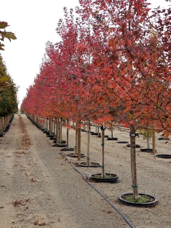 Redpointe™ Maple Tree