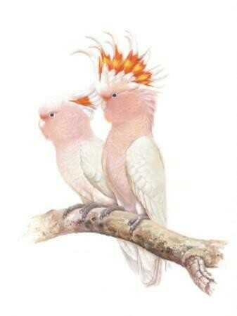 THIRSTYSTONE - Birds of Australia Drink Coaster Collection - Pink Cockatoos