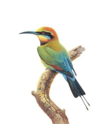 THIRSTYSTONE - Birds of Australia Drink Coaster Collection - Rainbow Bird