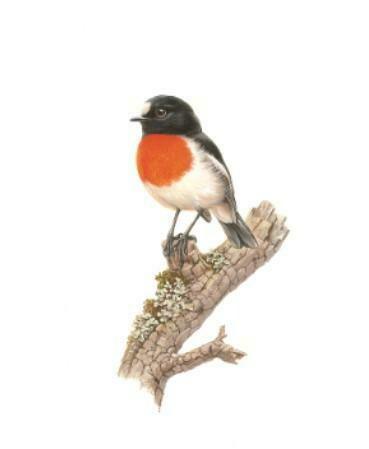 THIRSTYSTONE - Birds of Australia Drink Coaster Collection - Scarlet Robin
