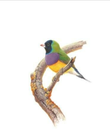 THIRSTYSTONE - Birds of Australia Drink Coaster Collection - Gouldian Finch