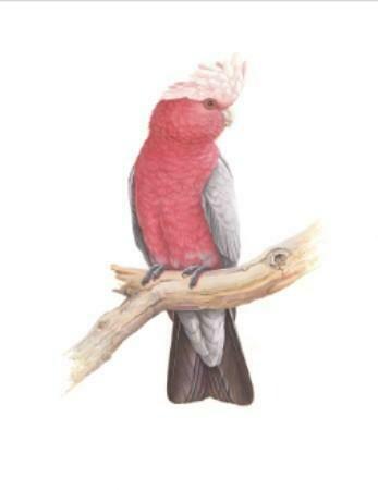 THIRSTYSTONE - Birds of Australia Drink Coaster Collection - Galah
