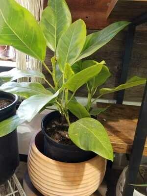 """CT Ficus Altissima 10"""""""