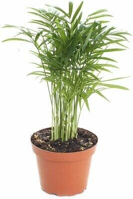 "CT Neanthe Bella Palm 4"""