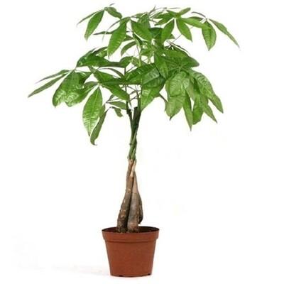 """CT Pachira Money Tree 4"""""""