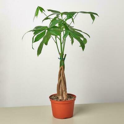 """CT Pachira Money Tree 6"""""""