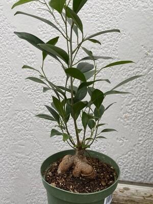 "CT Ficus Ginseng (retusa) 6"""