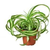 "CT Spider Plant 4"""