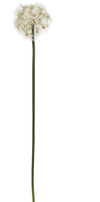 Dandelion Stem SM