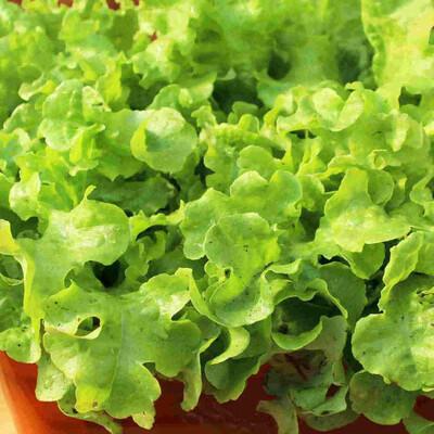 Lettuce Heirloom Grand Rapids