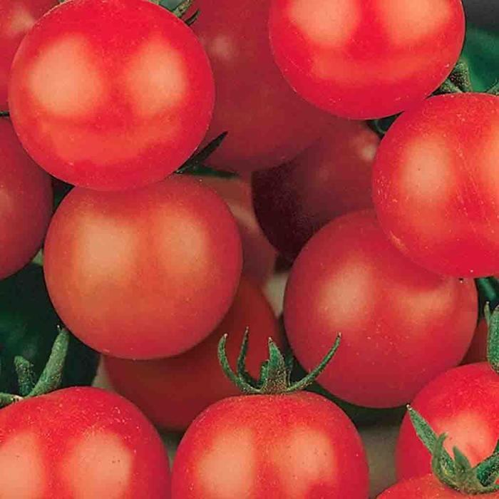 Tomato Tiny Tim