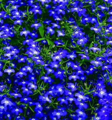 Lobelia Hoy Blue Royal