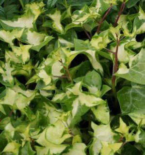 Ivy German Verigated