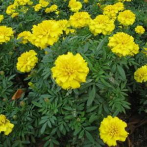 MarAF Bonanza Yellow