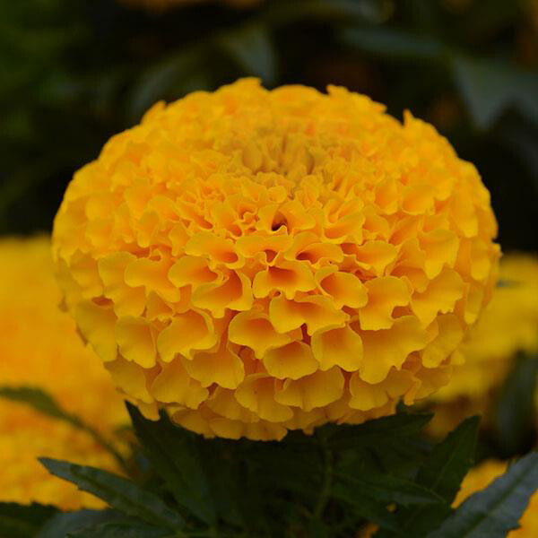 Marigold Taishan Gold
