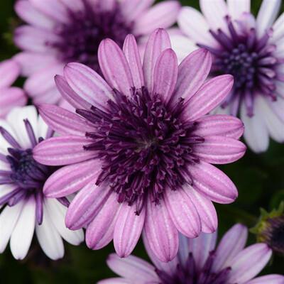 Osteospermum 4d Berry Violet Dark White