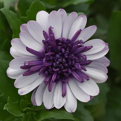Osteospermum 4d Berry Violet Ice