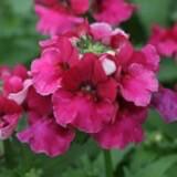 Namesia Angelart Raspberry