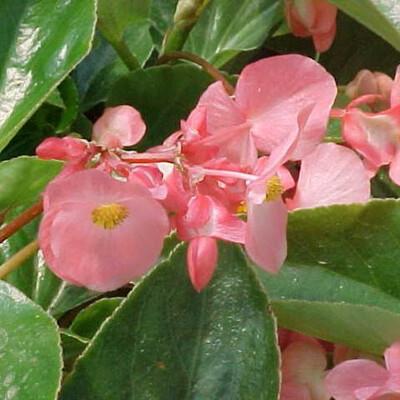 Dragon Wing Begonia Pink