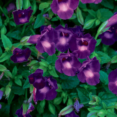 Torenia Lovely Purple