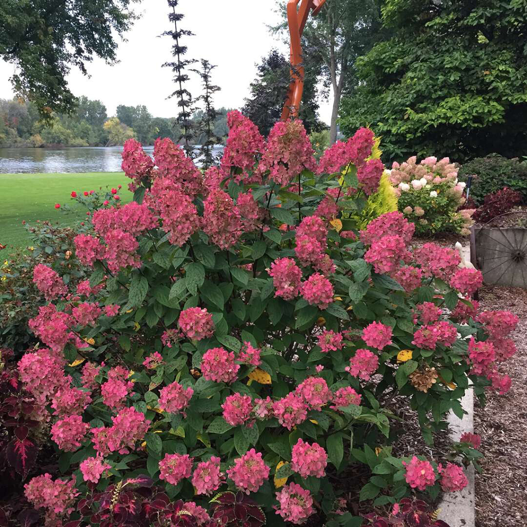 Hydrangea Proven Winners Fire Light