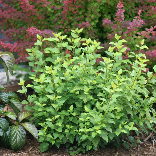 Ninebark Proven Winners Tiny Wine Gold (Physocarpus)