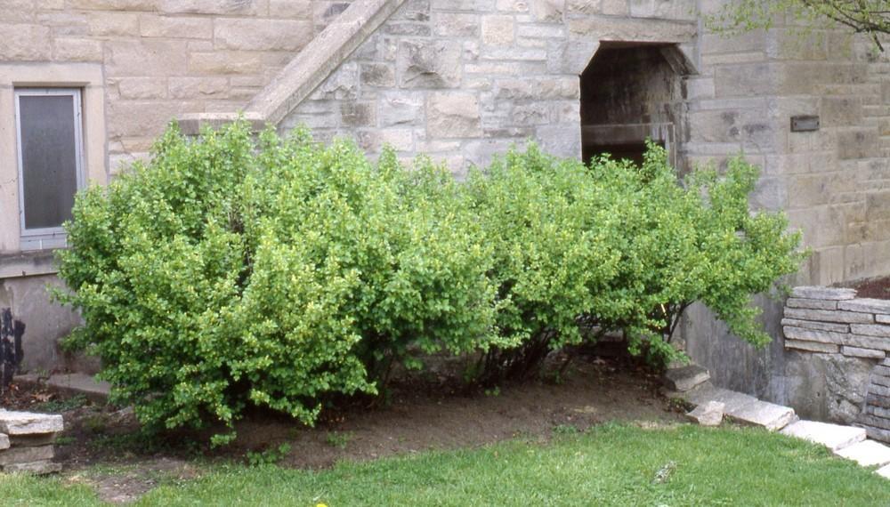 Alpine Current (Ribes Alpinum)
