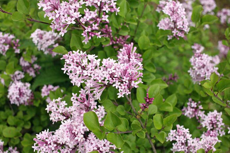 Syringa Palibin Lilac