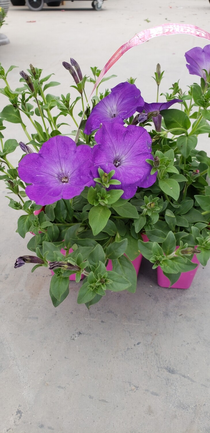Wave petunia 6 packs