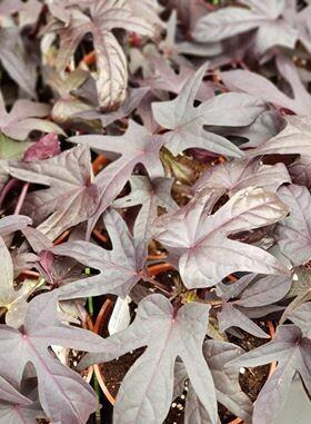 Purple Potatoe vine