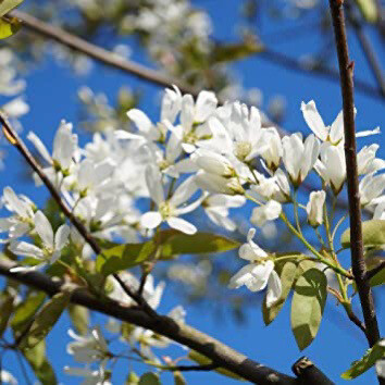 Serviceberry Ballerina Tree Amelanchier