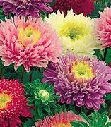 Aster Early Charm